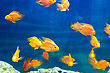 Red Parrot Cichlid In Blue Water stock image