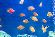 Red Parrot Cichlid In Blue Water