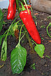 Red Pepper On Branch In Hothouse