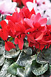 Red And Pink Cyclamen Flowers For Background stock photography