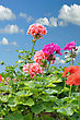 Red And Pink Garden Geranium Flowers Against A Blue Sky