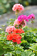 Red And Pink Garden Geranium Flowers In Pots stock photography