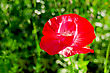 Red Poppies On A Background Of Green Grass stock photography