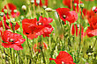 Red Poppy Field Close-up Background stock photography