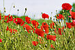 Red Poppy Field With Flying Bumblebee Background stock photo