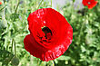Red Poppy Flower In The Field. stock photo