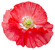 Red Poppy With White Middle And Yellow Stamens Isolated On White Background stock image
