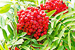 Red Ripe Rowanberry Branch stock photography