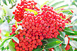 Red Ripe Rowanberry Branch stock image