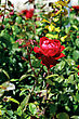 Red Rose On A Bed, Close-up Outdoors stock photo