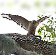 Red-shoulder Hawk With Snake On A Tree stock photo