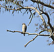 Red-Shouldered Hawk Perching On A Tree stock photo