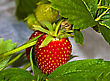 Red Strawberry On A Bed In The Garden stock image