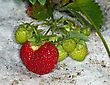 Red Strawberry On A Bed In The Garden stock photography