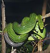 Red Tailed Green Snake In Terrarium stock photo