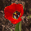 Red Tulip Flower In The Garden Around Moscow