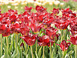 Red Tulip Flowers,Close Up stock photo
