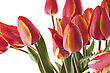 Red Tulips Bouqet With Dew On White stock image