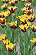 Red And Yellow Colorful Tulips On A Field stock image