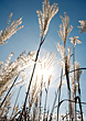 Landscapes Reed Grass Back-Lit By Sunlight stock photo