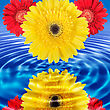 Reflection Of Red And Yellow Flowers In Blue Water. Close-up. Studio Photography
