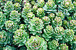 Rhodiola Rosea With Water Drops On Leaves stock photo