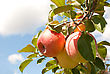 Ripe Apples On The Branch Against Blue Sky stock photography