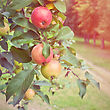 Ripe Apples On Apple Tree Branch stock photography
