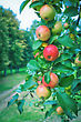 Ripe Apples On Apple Tree Branch stock photo