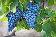 Ripe Bunch Of Grapes On A Branch, Close-up stock photography
