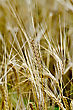 Ripe Rye Ears On A Background Field Of Rye stock photography