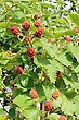 Ripening Red Brown Blackberries In The Garden stock photo
