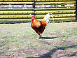 Livestock Rooster stock photography