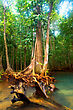 Roots Of Mangrove Trees In Rainforest, Thailand stock image