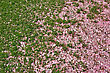 rose color petals on the spring green grass lawn stock photography