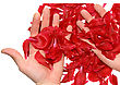 Ceremonial Rose Petals In A Hands. Isolated stock photo