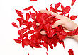 Rose Petals In A Hands. Isolated stock photography