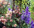 Roses And Delphiniums, Sandford Road, Dublin, Ireland stock image