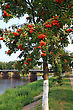 Sunlight Rowanberry In Park On Coast River stock photo