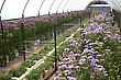 Rows Of Flowers Growing In Commercial Hothouse stock photo