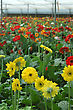 Rows Of Gerberas Growing In Commercial Hothouse stock photography