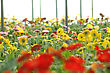 Rows Of Gerberas Growing In Commercial Hothouse