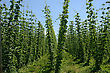 Rows Of Hop Bines Growing Near Nelson, New Zealand stock photo
