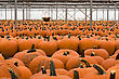 Rows and Rows of Pumpkins at Pumpkin Patch stock photo