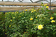 Rows Of Yellow Roses Growing In Commercial Hothouse