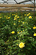 Floriculture Rows Of Yellow Roses Growing In Commercial Hothouse stock image