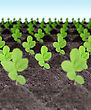 Rows Of Young Green Plants In A Dirt On Sky Background. Art Design. Close-up. Studio Photography stock photo