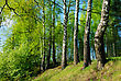 Rural Landscape, The Young Leaves Of The Birches, The Beginning Of May