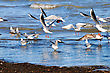Seagulls take off 2 stock photography
