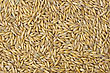Seeds Of Oats Close Up stock image